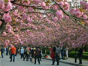 科大樱花开啦!今天起可免费进校园赏樱!