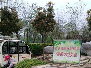 点赞清明节金乡县园林局设置了柳条摆放点
