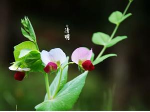 清明春色满园难成诗清明更堪雨凄凄花几朵,柳千枝思亲莫待鬓霜丝