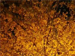 西环岛雪中的桃花开了