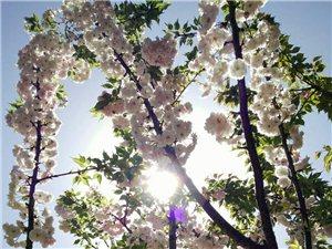 樱花季??????