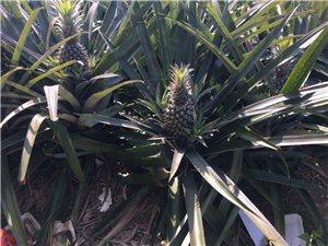 10w斤菠萝有老板收购吗