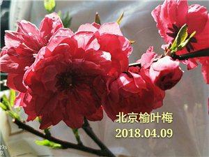 北京榆叶梅