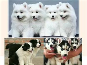出售精品狗狗