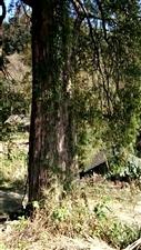 务川鹿坪有个组叫茶园,有棵红豆杉是国家一级保护直物!红豆杉有一千多年历史,树大直接有2米5左右,高有