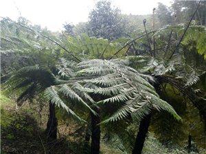 �k王山镇龙湾沟桫椤树有成千上万株之多哟,与龙塘沟相邻!