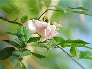 野瑰花的春天……