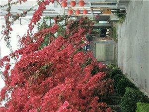 这里的三角梅、蔷薇花,醉美了仁寿城
