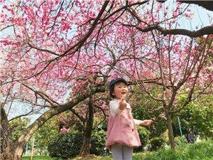 外婆日记‖樱花??都是桃花变的哟