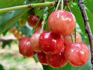 红了樱桃,美了乡村,鼓了腰包,富了百姓!