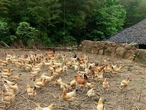 土鸡香飘迎杜鹃。黄毛尖欢迎你