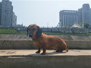 今日(2018.4.26)下午14:00在义园街走丢一只棕色腊肠犬,在身边多年,寻找未果十分着急,希