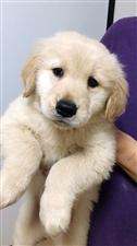 出售一只金毛幼犬,母,目前两个月,疫苗两针,已体内驱虫。联系微信:13587920086。