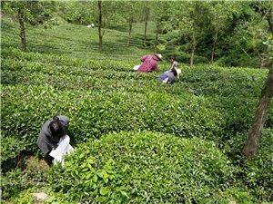 从茶园到茶杯,我们只做最生态的好茶!