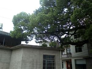 危?#25307;?#20154;及住户安全隐患的大树及死树