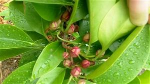 种植交流:酒饭团花蕾很漂亮……