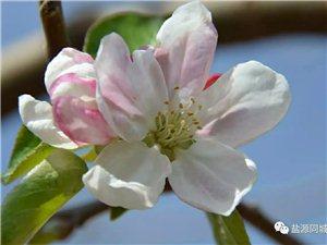 ??苹果花∠※,你见过吗?