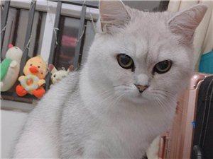 猫咪丢失在御岭春天 请看到的好心人联系我