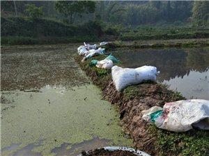 �r�C水稻�N植不用化肥�r�