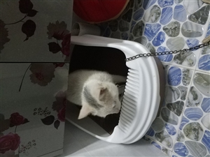 有2只猫因个人原因不想养了,便宜卖合江有喜欢猫的可以联系