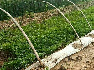 河北衡水辣椒种植户教你怎么种辣椒