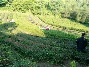 在银洞山,你应该这样实施低产茶园改造才赚钱!