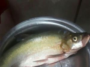 妖子书面语是什么鱼