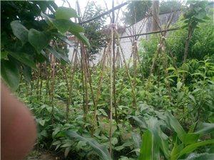 曝光一下我家的小菜园!黄瓜,番茄,洋葱,豆角!这就是我家的小菜园,有空去看看……
