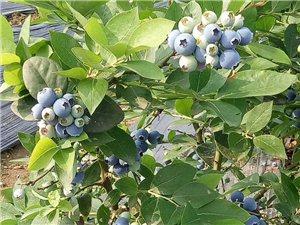 蓝莓熟了?听说这儿不用一粒除草剂,不晓得是真是假哟