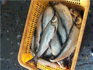 翘壳鱼销售