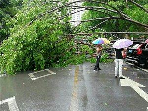 暴风雨来袭,滨江路的大树都翻根倒下!!