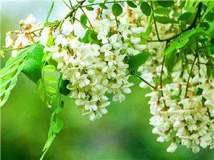 金塔人最迷恋的味道――槐花