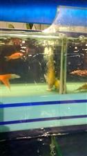 这鱼极度需要氧气
