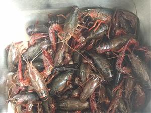 出售野生小龙虾,个大肉多