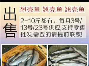 翘壳鱼出售