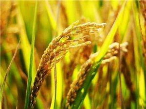 厉害!在迪拜沙漠中种出杂交稻,袁隆平团队再创佳绩