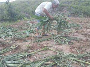 80余亩玉米苗被村官强行毁掉