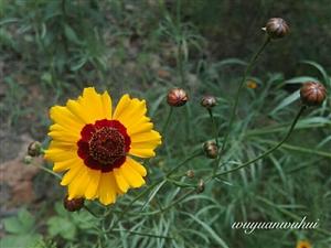 双色金鸡菊