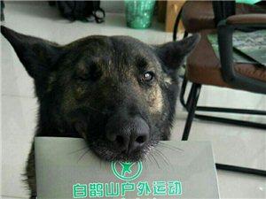 """""""网红狗""""步枪打工赚狗粮"""