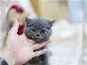 2个月的英短蓝猫,布偶,无毛。