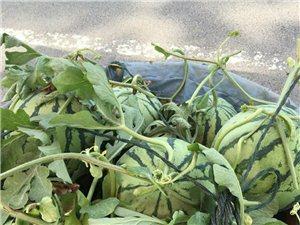 汤山道婆庵大棚西瓜采摘季到了