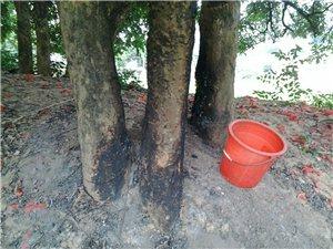 百年龙眼树被砍烧谁能救