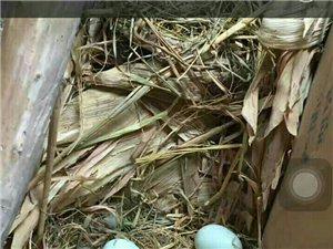 绿壳鸡蛋了