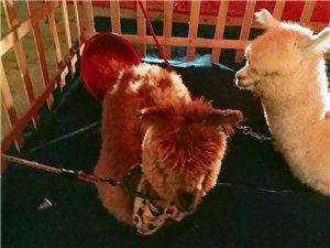 可爱呆萌的羊驼