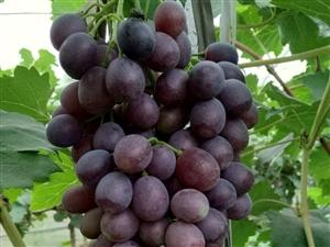众乐葡萄采摘园