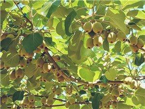 本人三标有猕猴桃一万多斤,望水果商收购
