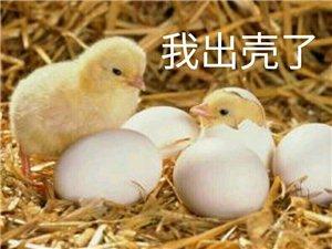讲一讲正宗土鸡蛋,普及一下
