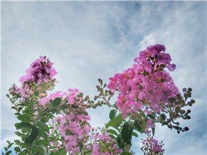 手机拍紫薇花