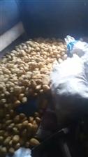大量出售土豆