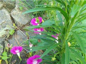 清晨的路上看见喇叭花